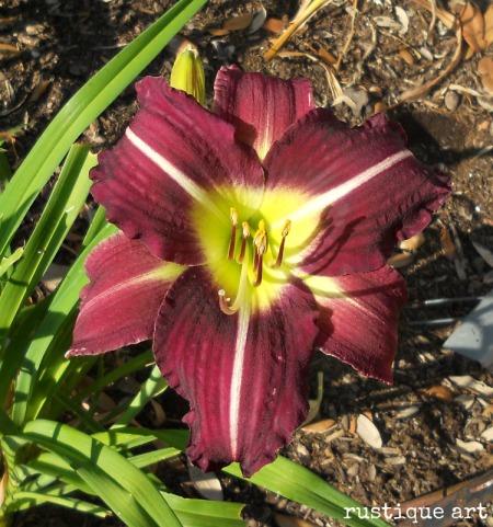 Wild Wild World Daylily